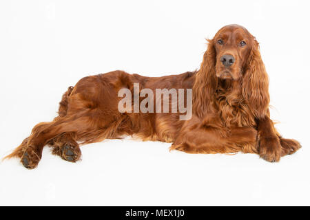 Red Irish Setter Dog in a Studio Environment with a White Background - Stock Photo