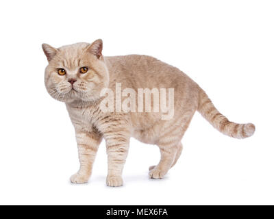 Impressive creme adult male British Shorthair cat walking isolated on white background looking naughty in camera - Stock Photo