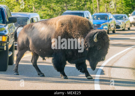 Bison crossing the Road - Stock Photo