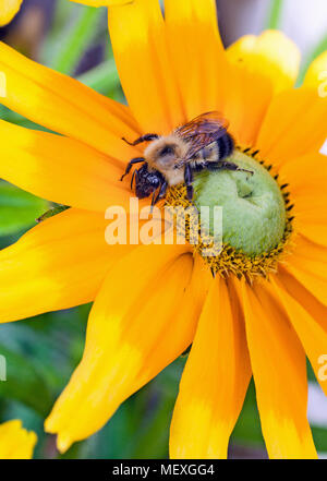 Close-up of a Honey Bee, genus Apis, collecting pollen from a yellow sunflower with a green center. - Stock Photo