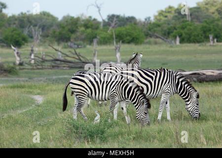 Burchell's or Plains Zebras (Equus quagga burchellii).  Rear animal 'on the alert' head up , watchful, for predators. LIONS? - Stock Photo
