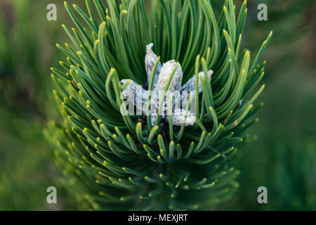 the tip of a branch of a young pine tree - Stock Photo