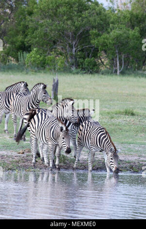 """Burchell's or Plains Zebra (Equus quagga burchellii). Water dependant """"Primary grazers"""" of African grasslands and savanna woodlands. Approaching a wat - Stock Photo"""