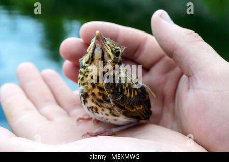 Little nestling swallows river (Swift), a man holds in his hands. - Stock Photo