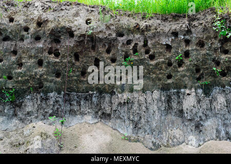 House steppe birds - holes in the steep bank of the river - Stock Photo