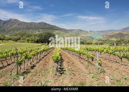 Vineyard set below mountains of the Sierra de Grazalema Natural Park, Zahara de la Sierra, Cadiz province, Andalucia, Spain, Europe - Stock Photo