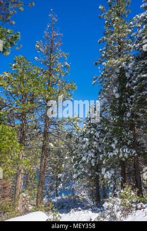 Snow hangs on the limbs of green pine trees in the Sierra Nevada mountains of central California. - Stock Photo