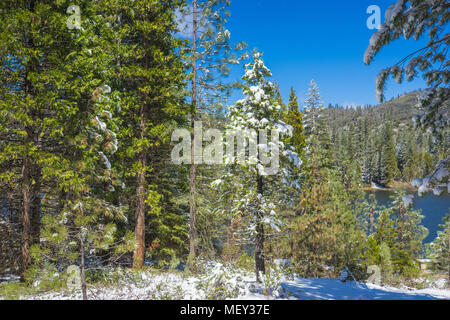 Small green pine tree covered with snow in the winter of central California mountains. - Stock Photo