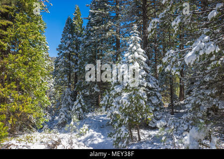 Pine trees covered with snow in the mountains of Central California's Sierra Nevada range. - Stock Photo