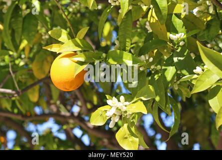 fresh orange on the tree - blooming spring nature - Stock Photo