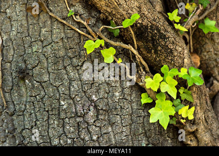 Ivy (Hedera Helix) plant climbing up tree trunk - Stock Photo