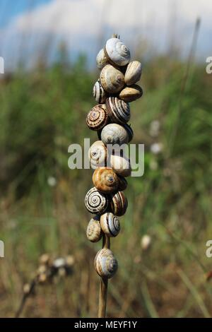 Sand hill snailes gathered on the stem - Stock Photo