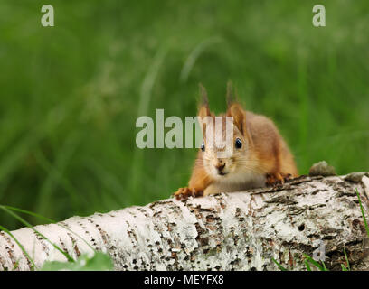Close-up of a surprised Red squirrel (Sciurus Vulgaris) on a log, Finland. - Stock Photo