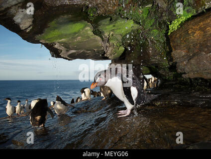 Close up of a Southern rockhopper penguin taking shower under a stream of water, Falkland islands. - Stock Photo