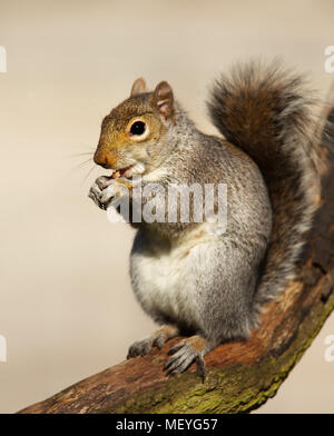 Close-up of an Eastern Gray squirrel sitting in the tree and eating nuts, UK. - Stock Photo