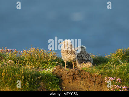Two European herring gull chicks standing by the nest in grass on a sunny summer day, Scotland, UK. - Stock Photo
