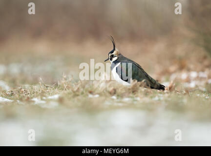 Northern lapwing (Vanellus vanellus) in the field with snow, early spring in UK. - Stock Photo