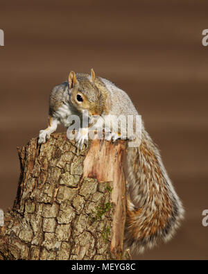 Close up of an Eastern grey squirrel sitting on the tree log, UK. Stock Photo