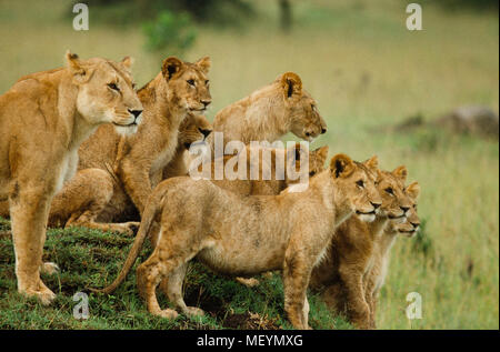 Lion pride, cubs and adults,  Serengeti National Park, Tanzania. Lion population across African continent has plummeted from 200,000 in 1980s to less  - Stock Photo