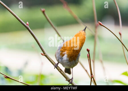 A robin (Erithacus rubecula) perched on a branch singing - Stock Photo