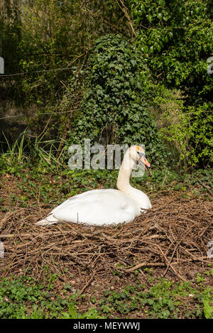 A white mute swan sitting on a nest in spring - Stock Photo