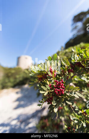 Red berries and plants of the inland frame the tower  Cala Pira Castiadas Cagliari Sardinia Italy Europe - Stock Photo