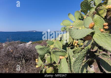 Prickly pears of the inland frame the blue sea Punta Molentis Villasimius Cagliari Sardinia Italy Europe - Stock Photo