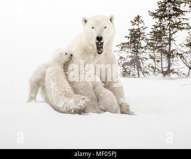 Sleepy polar bear mom cuddles and nurses her cubs. - Stock Photo