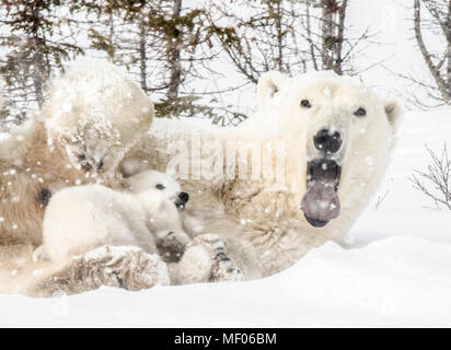Sleepy polar bear mom cuddles and nurses her cubs. - Stock Photo