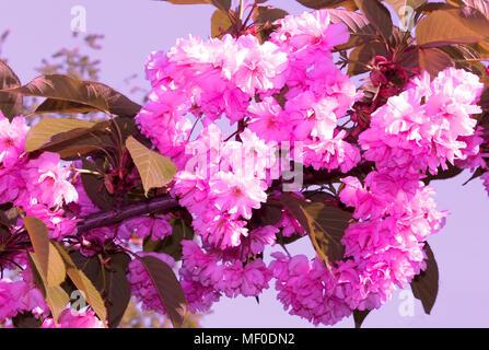 Sakura. Cherry Blossom in Springtime. Beautiful Pink Flowers - Stock Photo