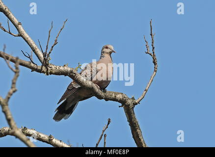 Oriental Turtle-dove (Streptopelia orientalis orii)  adult perched on branch        Jinshan, Taiwan                      April - Stock Photo