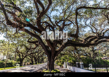 Oak trees along Coral Way, Coral Gable, Miami-Dade County, Florida, USA. - Stock Photo