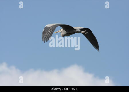 Grey Heron, flying against a blue sky, this bird is flying away from the observer. Latin name Ardea cinerea - Stock Photo