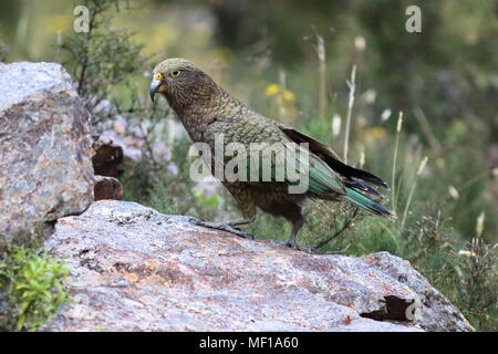 Nestor notabilis, Kea the only true Alpine Parrot found only in New Zealand, this bird is walking on a rock - Stock Photo