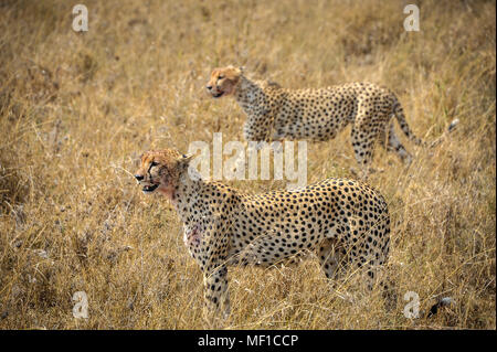 Magical scene, two young male Cheetahs hunting in Ngorongoro National Park. Close up profile, detailing markings on coat surrounded by golden savannah - Stock Photo