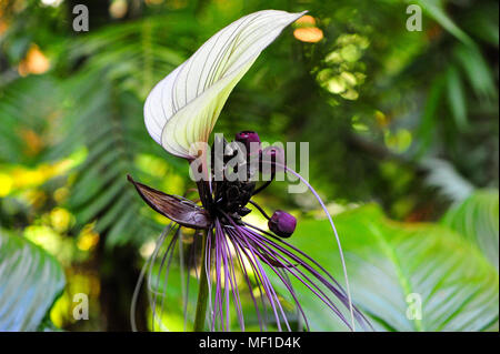 White batflower (Tacca integrifolia), nicknamed 'Cat's Whiskers'. Exotic white flower with purple thread-like bracts with green bokeh background - Stock Photo