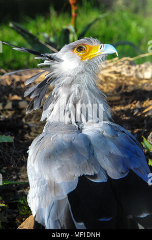 Close up portrait of a male secretary bird (Sagittarius serpentarius), displaying his magnificent plumage - Stock Photo