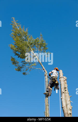 A professional arborist cutting the top off a hemlock tree as part of the process of removing the tree. - Stock Photo
