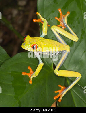 Red-eyed Tree frog (Agalychnis callidryas) on leaf in rainforest - Stock Photo
