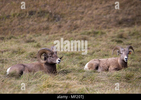 Rocky Mountain Bighorn sheep (Ovis canadensis canadensis) ram and ewe resting in montane grassland habitat of Sheep River Wildlife Sanctuary - Stock Photo