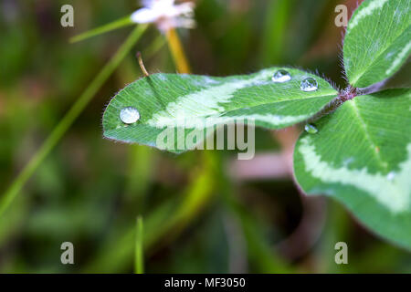 Macrophotography of some dew drops over a clover leaf early in the morning. - Stock Photo