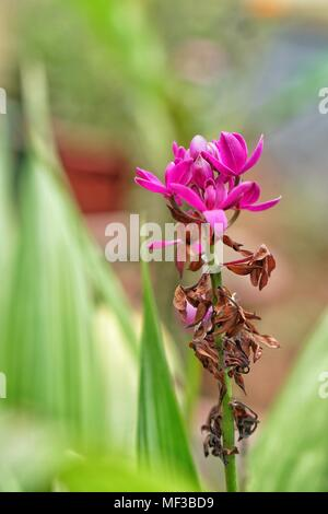 Magenta orchid flower - Stock Photo