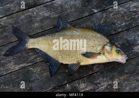 Live fish - bream on the green grass. Fresh catch. - Stock Photo