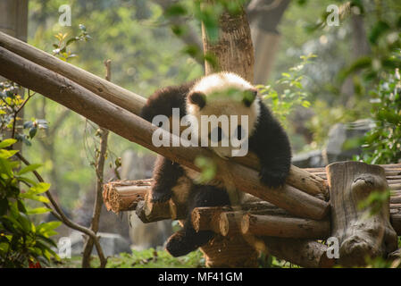 Giant panda at the Chengdu Research Base of Giant Panda Breeding in Chengdu, Sichuan, China - Stock Photo
