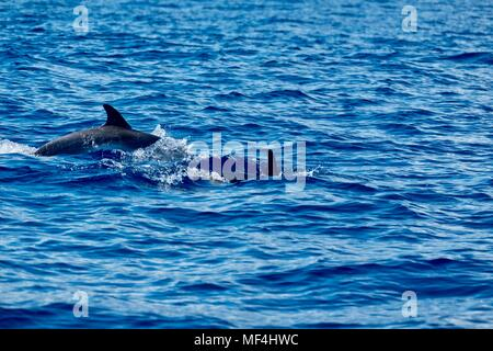 Two spotted dolphins swimming near Pico Island in the Azores - Stock Photo