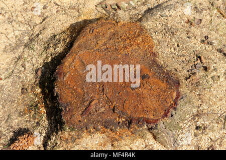 Sap showing on a tree trunk of a newly cut down birch tree with sawdust around it - Stock Photo