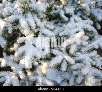 Snow on spruce branches in the sun, close-up - Stock Photo
