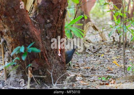 Orange-footed Scrubfowl (Megapodius reinwardt) in the rainforest, Cape Tribulation, Daintree National Park, Far North Queensland, FNQ, QLD, Australia - Stock Photo