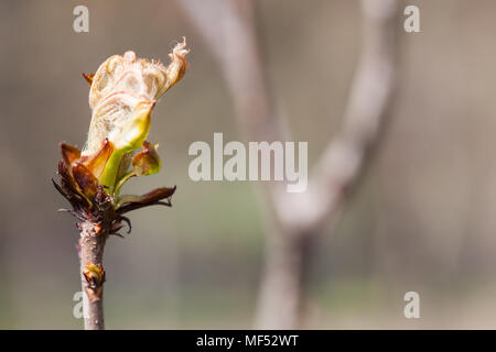 New life spring time concept. Horse chestnut bud bursting into leaves. Castania tree branch macro view. Shallow depth of field, soft focus background, copy space - Stock Photo