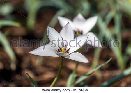 Close-up of the fully open flower of tulip 'Tulipa Peppermintstick' growing in a garden in Surrey, UK - Stock Photo